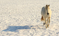 Horse Trotting In The Snow - PhotoDune Item for Sale