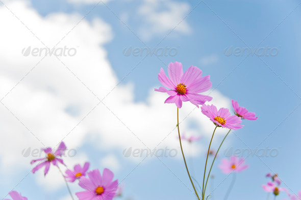 The Cosmos Flower and sky - Stock Photo - Images