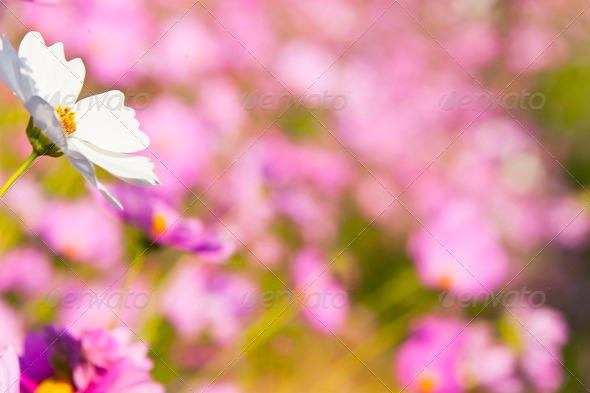 Cosmos Flower and bokeh background - Stock Photo - Images
