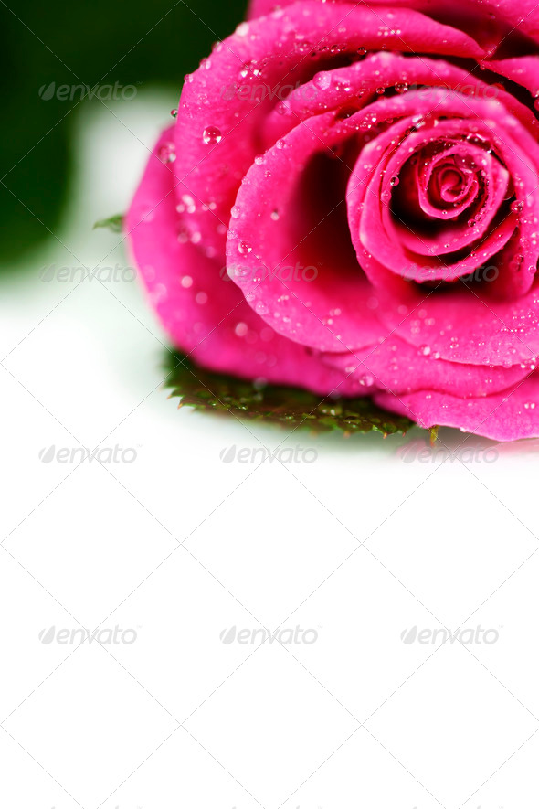 PhotoDune Pink rose 3866253