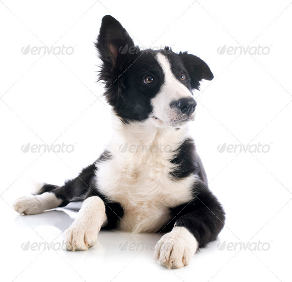 PhotoDune puppy border collie 3866317