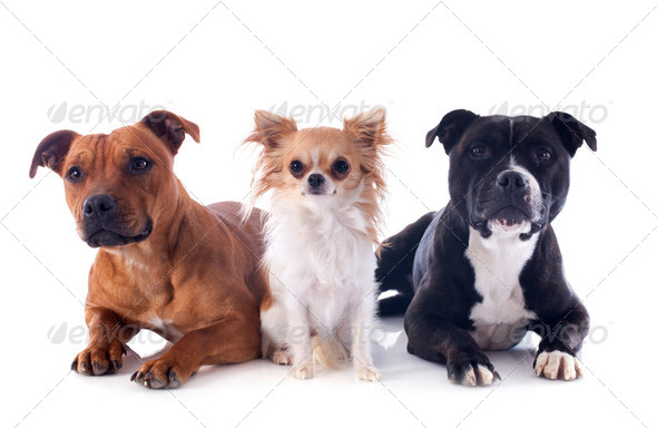 PhotoDune staffordshire bull terriers and chihuahua 3866322