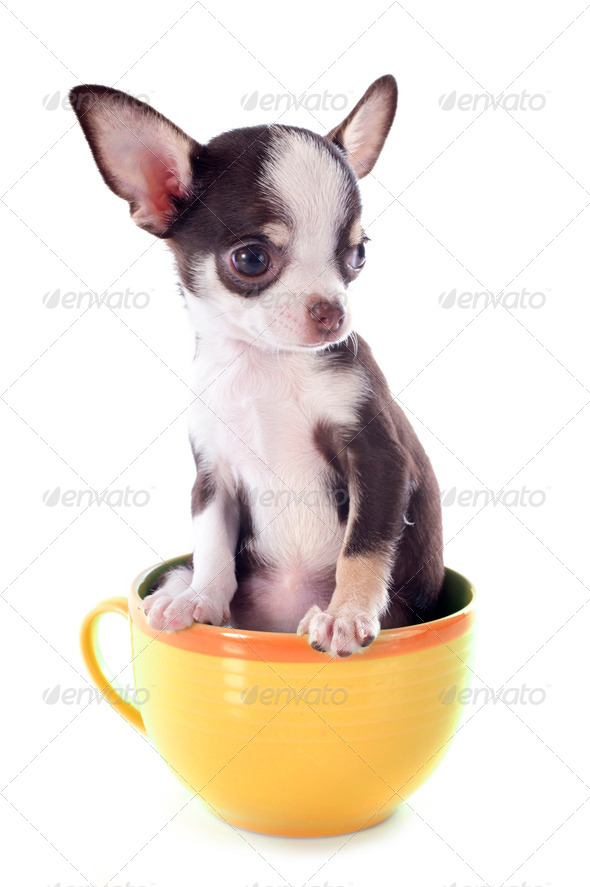 PhotoDune puppy chihuahua in a cup 3866328