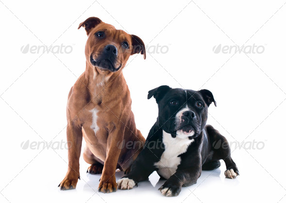PhotoDune two staffordshire bull terrier 3866330