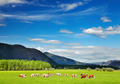 Grazing cows - PhotoDune Item for Sale