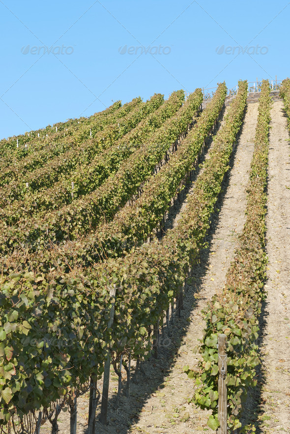 Wine Field - Stock Photo - Images
