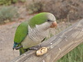 Eating parakeet parrot - PhotoDune Item for Sale