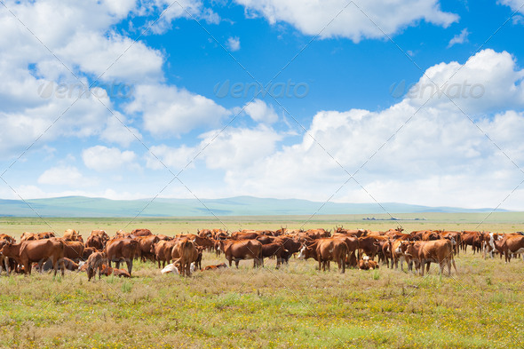 PhotoDune grazing cows 3883672