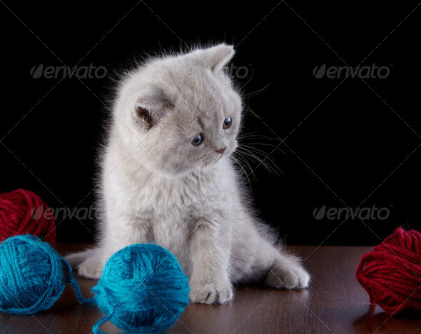 PhotoDune British short hair Kitten and ball of yarn 3884681