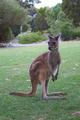 kangaroo - PhotoDune Item for Sale