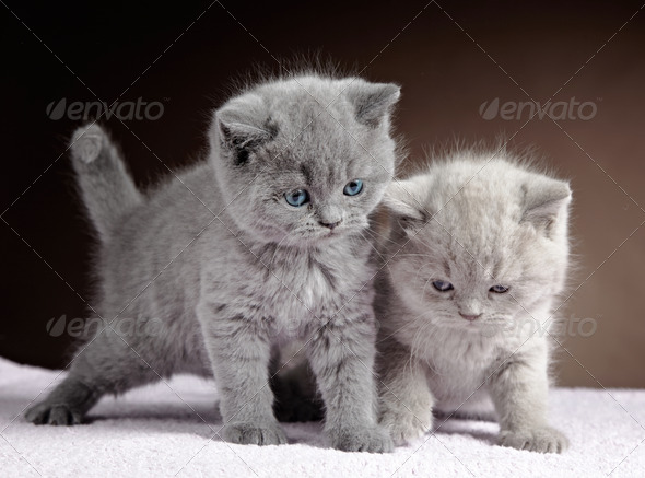 PhotoDune two british short hair kittens 3886560