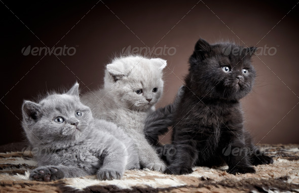 PhotoDune three british short hair kittens 3886559