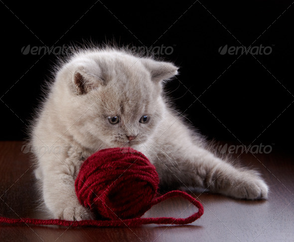 PhotoDune British short hair Kitten and ball of yarn 3889039