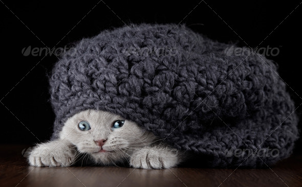 PhotoDune British short hair kitten in a hat 3891202