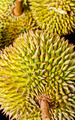 Federation of Thai durian. - PhotoDune Item for Sale