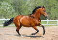 Bay Stallion of Ukrainian Riding Breed gallops - PhotoDune Item for Sale
