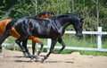 Black Stallion and Bay Stallion Gallop on manege - PhotoDune Item for Sale