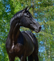 Portrait of Black Stallion of Russian Riding breed - PhotoDune Item for Sale