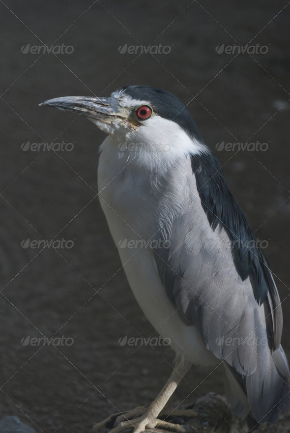 Black-crowned Night Heron - Stock Photo - Images