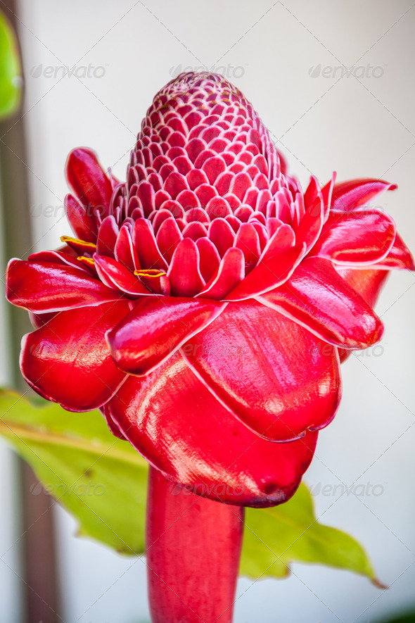 Stock Photography - Torch ginger Photodune 3918827