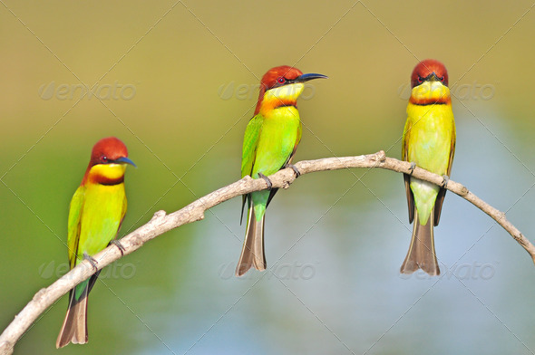 PhotoDune Chestnut-headed Bee-eater Bird 3920001