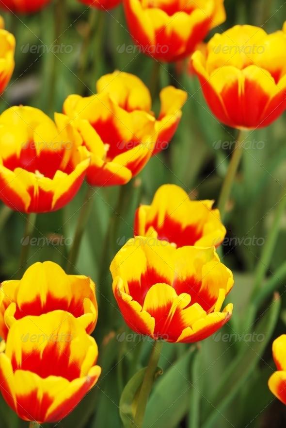 PhotoDune fresh tulips 3937050