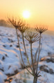 frail figure of a wild parsnip - PhotoDune Item for Sale