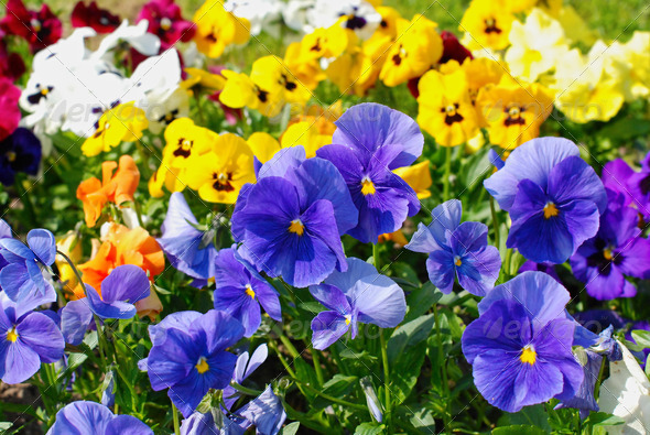 Violas - Stock Photo - Images