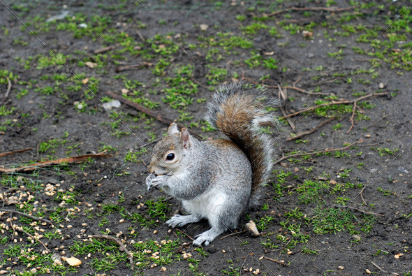PhotoDune Grey Squirrel 3938001