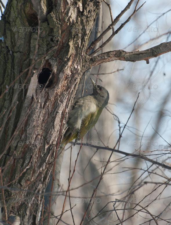 PhotoDune Female Grey-headed Woodpecker on a tree trunk 3944164