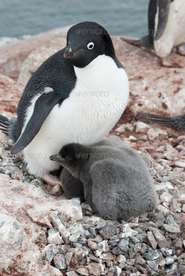 PhotoDune Adult Adelie penguin and chicks in the nest 3944165