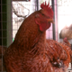 Roosters In The Hennery - VideoHive Item for Sale