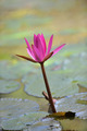 Nymphaea lotus - PhotoDune Item for Sale