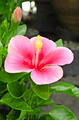 Pink Hibiscus - PhotoDune Item for Sale