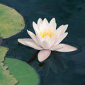 white waterlily - PhotoDune Item for Sale
