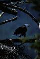Bald Eagle Calling - PhotoDune Item for Sale
