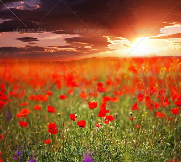 Poppy - Stock Photo - Images