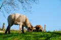 Lambs lying on the grass - PhotoDune Item for Sale