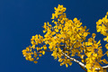 Yellow Aspen Leaves Blue Sky Background - PhotoDune Item for Sale