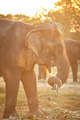 elephant eating grass - PhotoDune Item for Sale