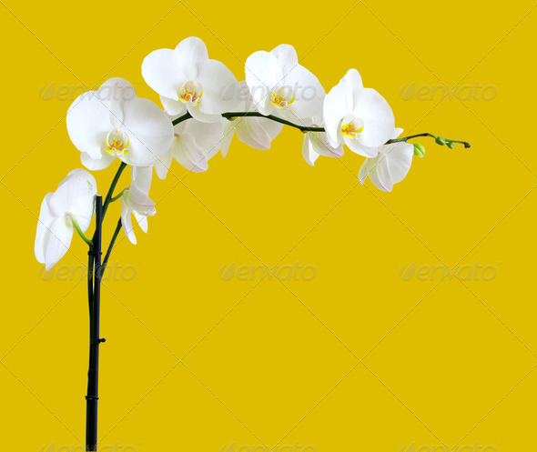 PhotoDune white orchids 3984319