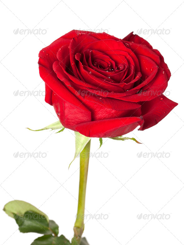 Red rose bud with water drops - Stock Photo - Images