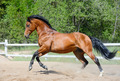 Bay Horse of Ukrainian riding breed in motion - PhotoDune Item for Sale