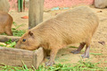 Capybara eat grass - PhotoDune Item for Sale