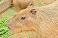 Close up of Capybara - PhotoDune Item for Sale