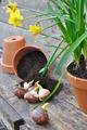 planting tulip bulbs - PhotoDune Item for Sale