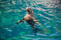 Curious sealion in pool - PhotoDune Item for Sale