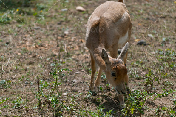 Little Blackbuck - Stock Photo - Images