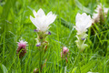 White Siam tulip in Chaiyaphum, Thailand - PhotoDune Item for Sale