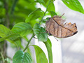 Close up of Orange oakleaf butterfly - PhotoDune Item for Sale